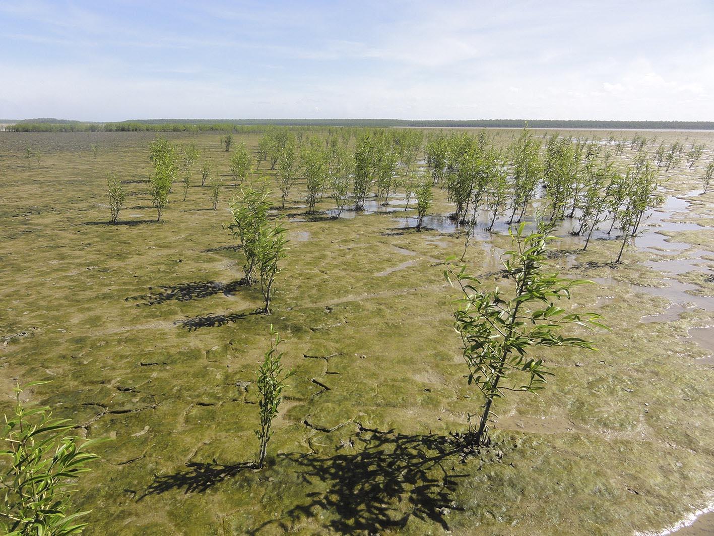 mangrove pionnière