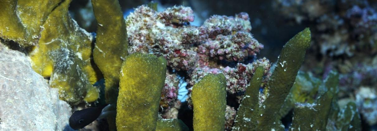 Dactylospongia