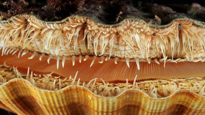 Close-up of a scallop shell